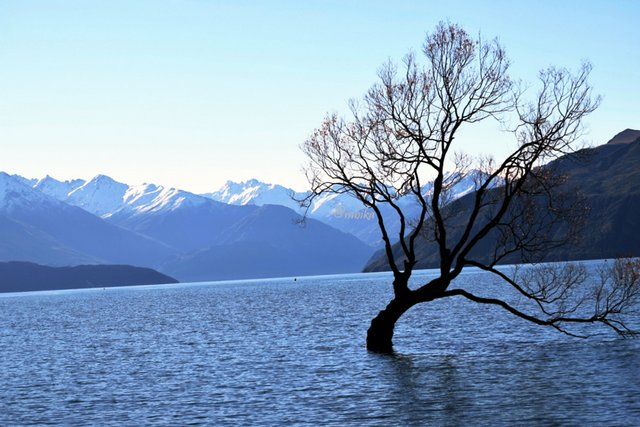 The famous Wanaka Tree in Lake Wanaka