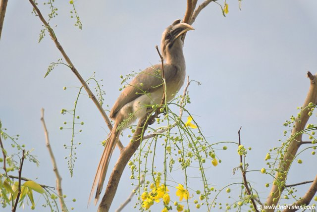 Indian Grey Hornbill at Kanvashram