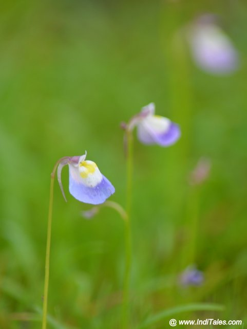 Utricularia Purpurascens flower