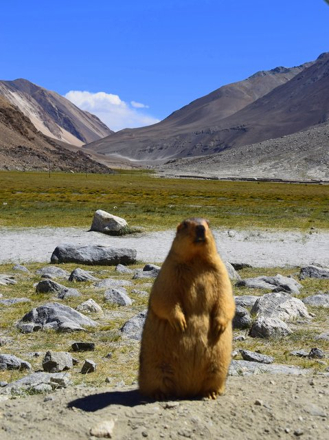 Himalayan Marmot - a large Squirrel
