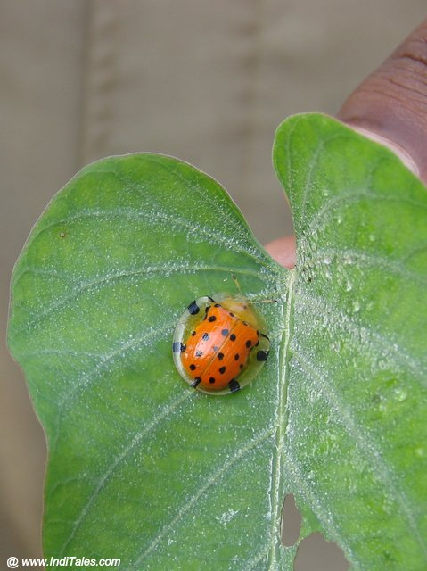Asian Ladybugs or Harmonia Octomaculata