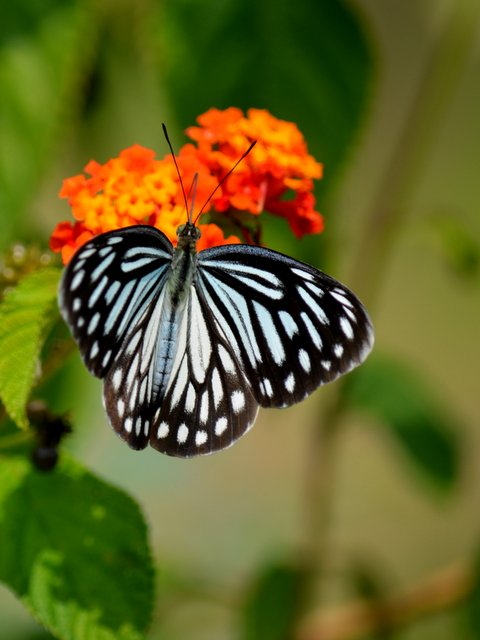 Butterfly at Satpura
