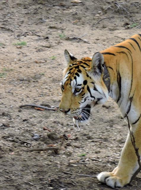 Collarwali Tigress, the queen of Pench National Park