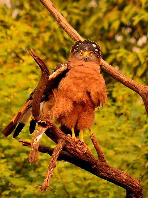 Crested Serpent Eagle at Bharatpur Bird Sanctuary