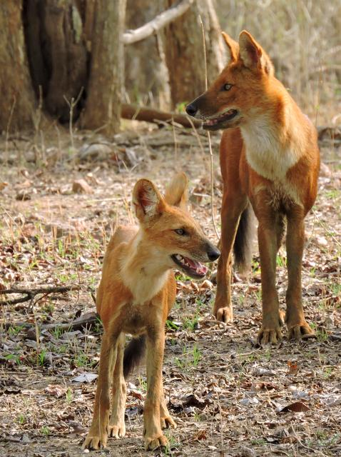 Dhole or Indian Wild Dogs at Pench National Park