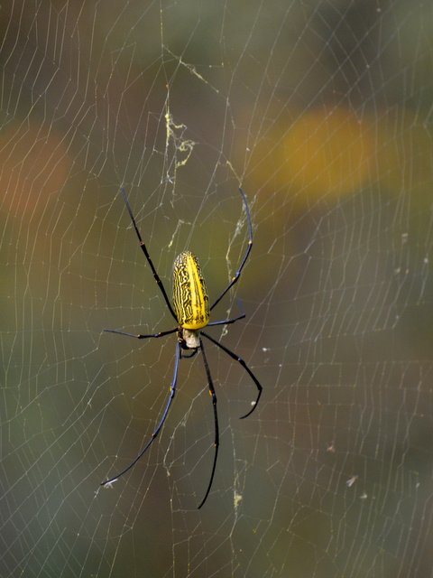 Giant female wood spider Nephila pilipes jalorensis at Satpura National Park walking safari