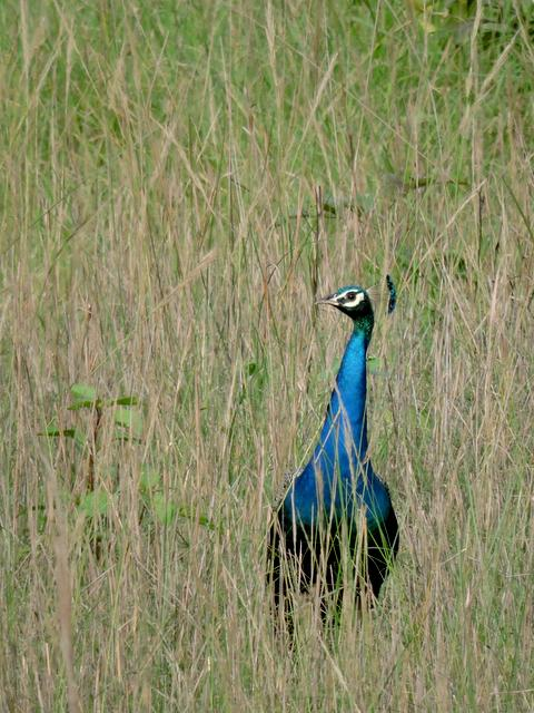 Indian Peafowl at Pench National Park