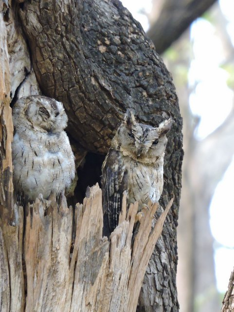 A pair of Indian Scops Owl at Pench National Park