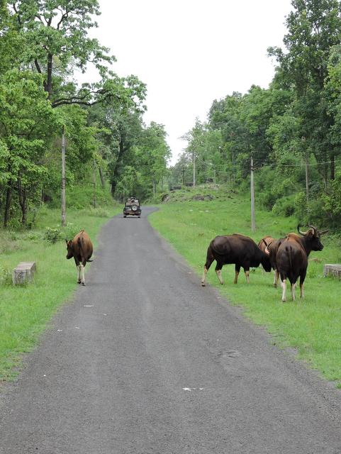 Indian Bisons comfortable with the Jungle Safari jeeps at Kanha National Park