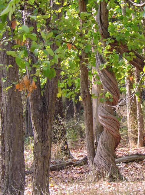 Liana vine growing around a Sal tree at Bandhavgarh National Park
