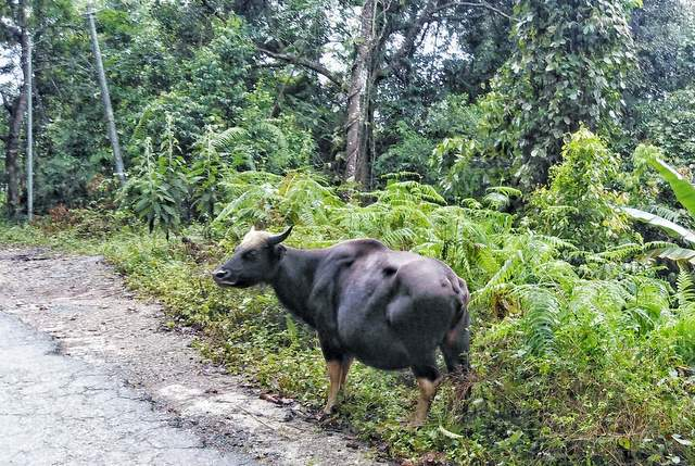 Mithun the state animal of Arunachal Pradesh