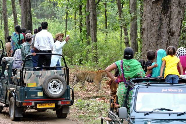 Munna Tiger calmly walking beside the Jungle Safari Jeeps at Kanha