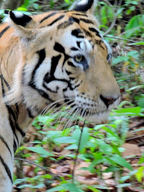 Munna, the Rock Star Tiger of Kanha National Park