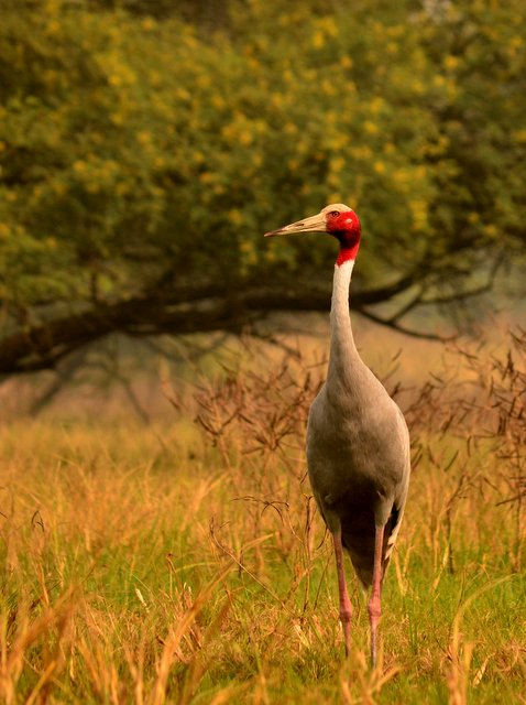 Saras Crane at Bharatpur Bird Sanctuary