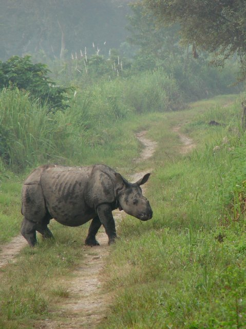 Single-horned Rhinoceros baby at Kaziranga National Park