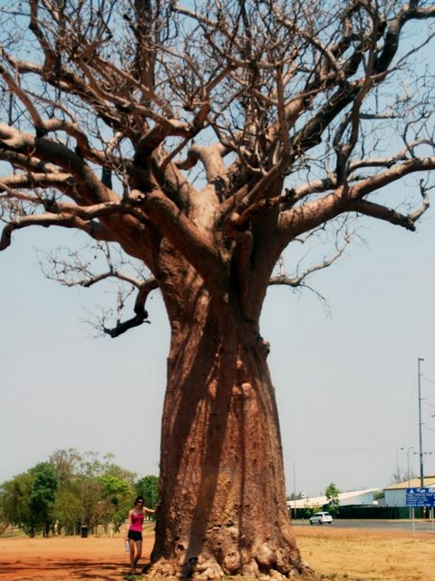 Big Boab Tree at Kununurra
