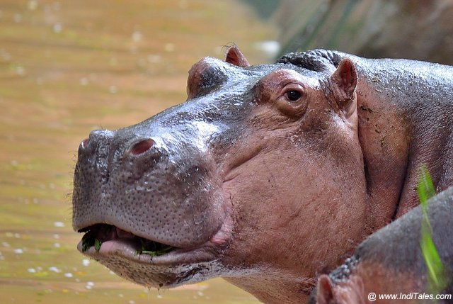 Close-up of a Hippo at Trivandrum Zoo