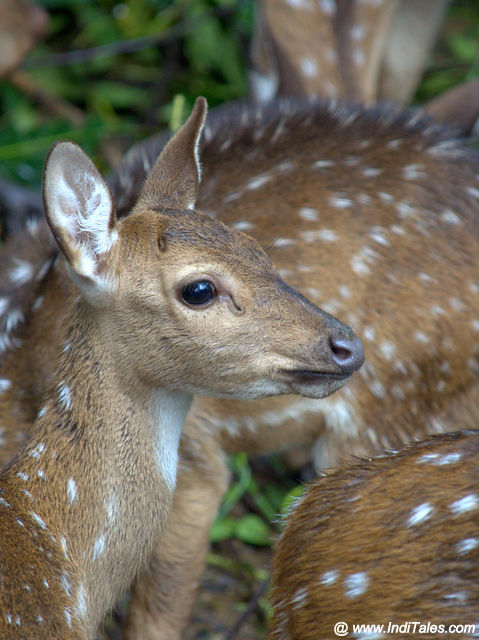 Spotted Deer at the Deer enclosure - Trivandrum Zoo Popular among Tourists