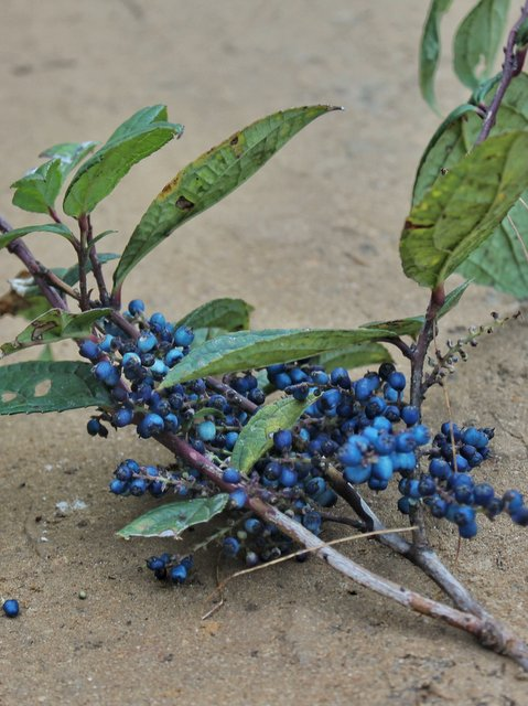 Blue colored berries found en route