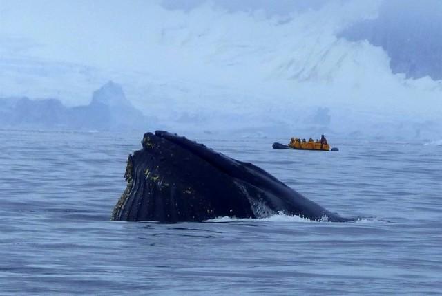 Zodiac Whale in Antarctic Ocean