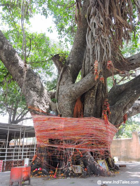 Ancient Banyan Tree - Daksh Mahadev Temple
