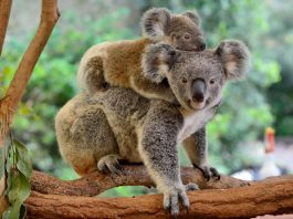 Koala - Mother and Child