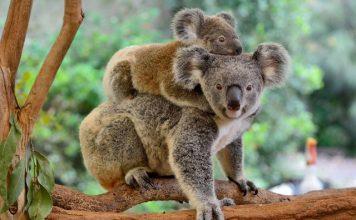 Koala - Mother and Child