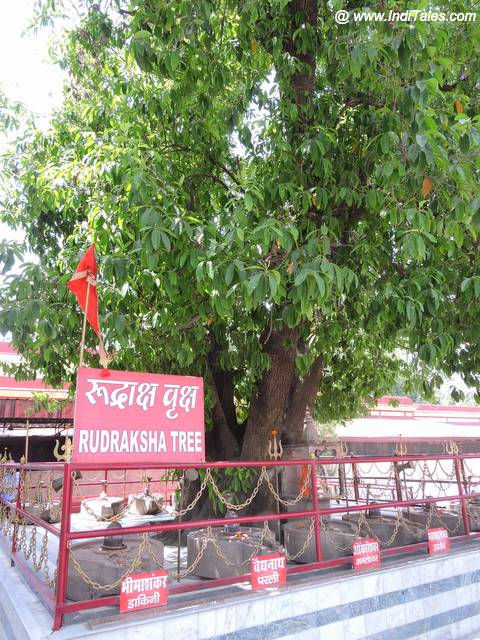 Ancient Rudraksha Tree