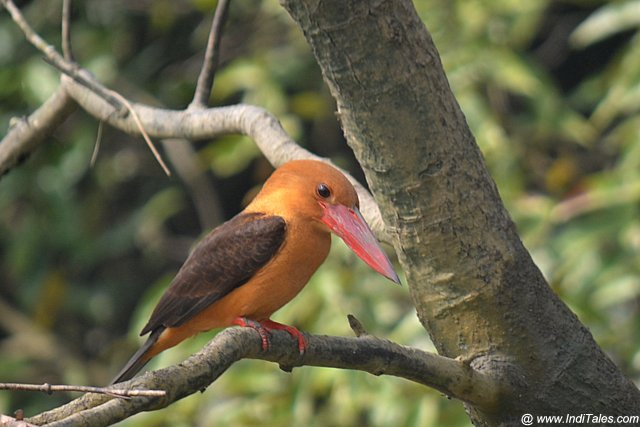 Brown-winged Kingfisher at Bhitarkanika National Park