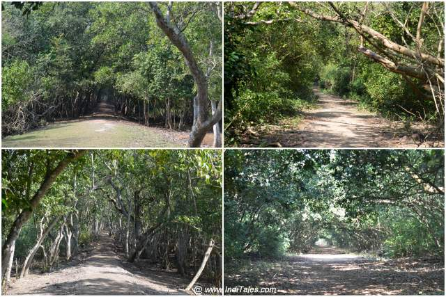 Dark and canopied Mangrove forests at Bhitarkanika