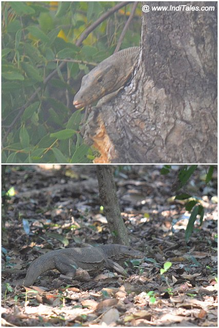Monitor Lizard atop a tree and on the forest floor