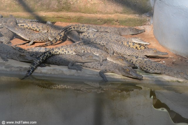 Saltwater Crocodiles breeding center at Bhitarkanika