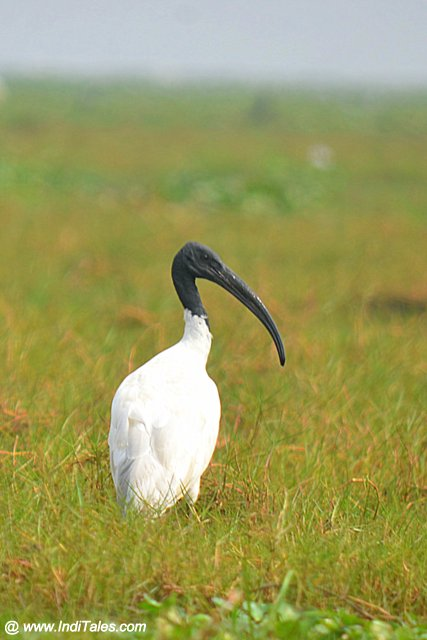 Black-headed Ibis at the wetlands