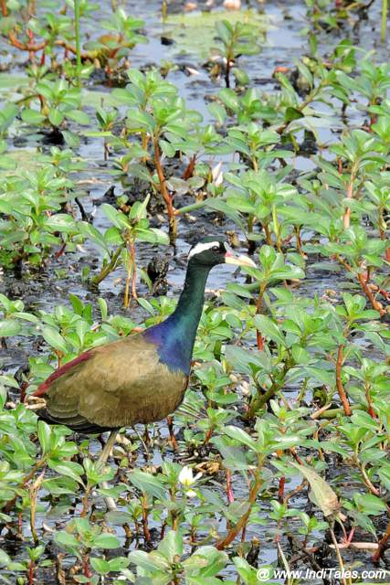 Bronze-winged Jacana in the wetlands