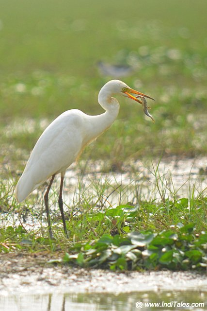 Great Egret with a prized catch