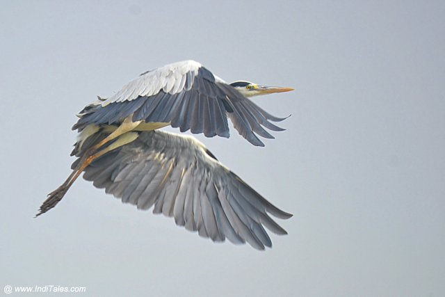 Grey Heron in-flight
