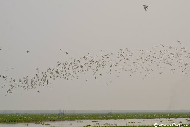 A huge flock of waterbirds in flight at Mangalajodi