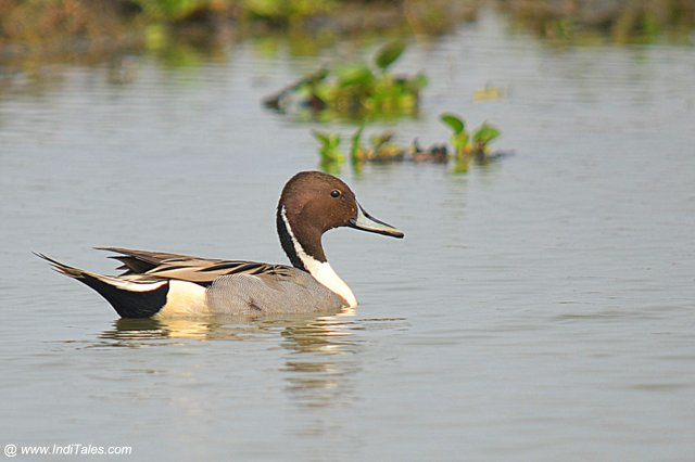Northern Pintail in the shallow waters, waterbirds of Mangalajodi