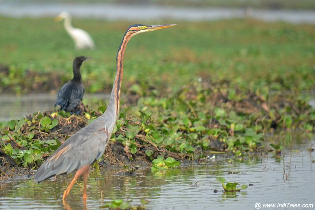 Purple Heron, waterbirds of Mangalajodi