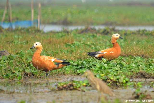Ruddy Shelducks waterbirds