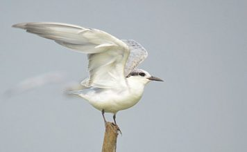Whiskered Tern about to take-off