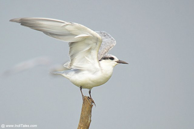 Whiskered Tern about to take-off, waterbirds of Mangalajodi