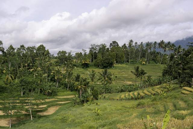Lush green rice terraces in the region