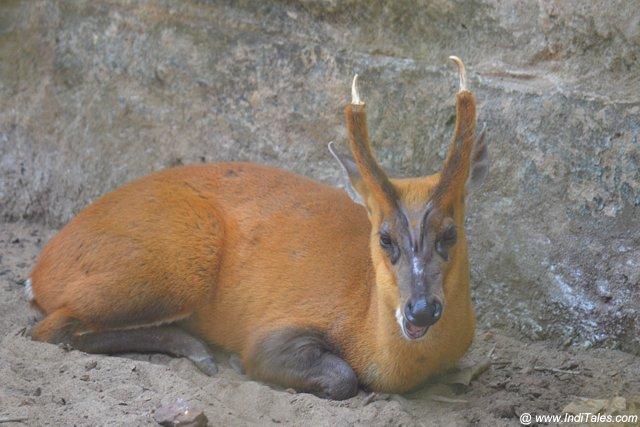 Resting Barking Deer