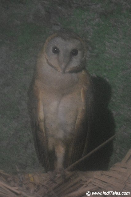 Barn Owl at Nandankanan Zoological Park