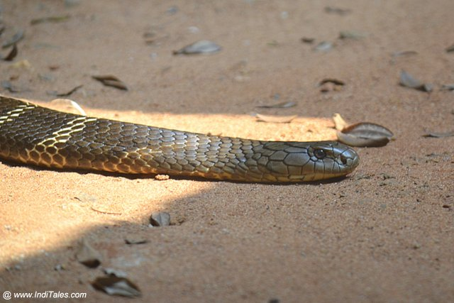 Cobra Snake at Nandankanan Zoological Park