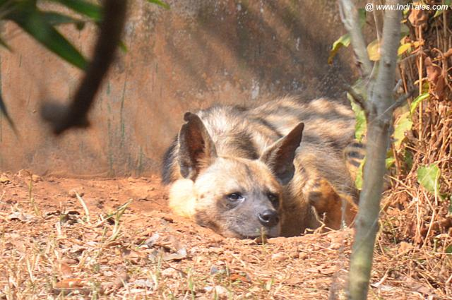 Dhole or Indian Wild Dog