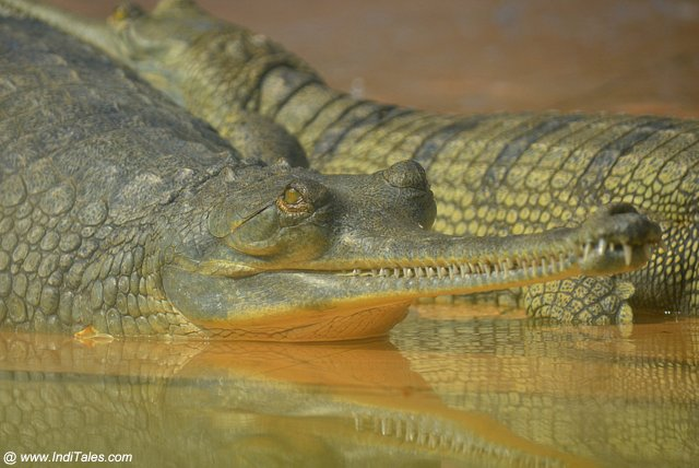 Gharial Crocodile