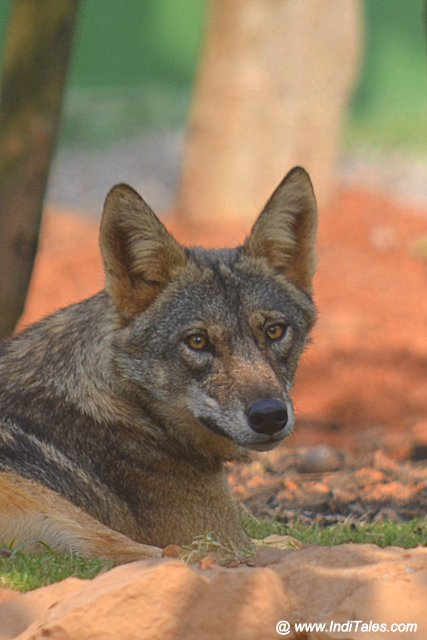 Indian Grey Wolf at Nandankanan Zoological Park