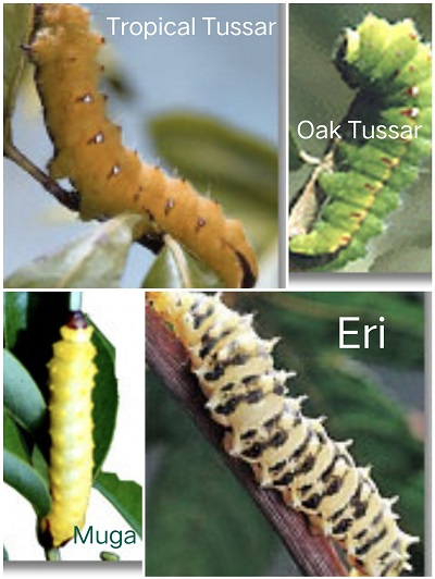 Different Types of Vanya or Wild Silk Worms